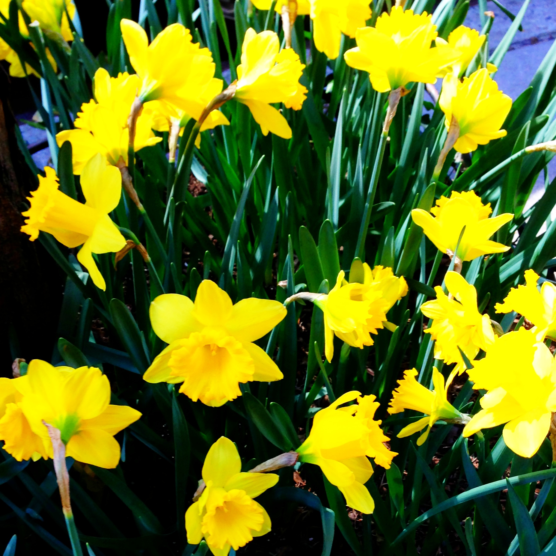 Yellow Daffodils, Daffodils, Yellow Flowers, Spring Flowers